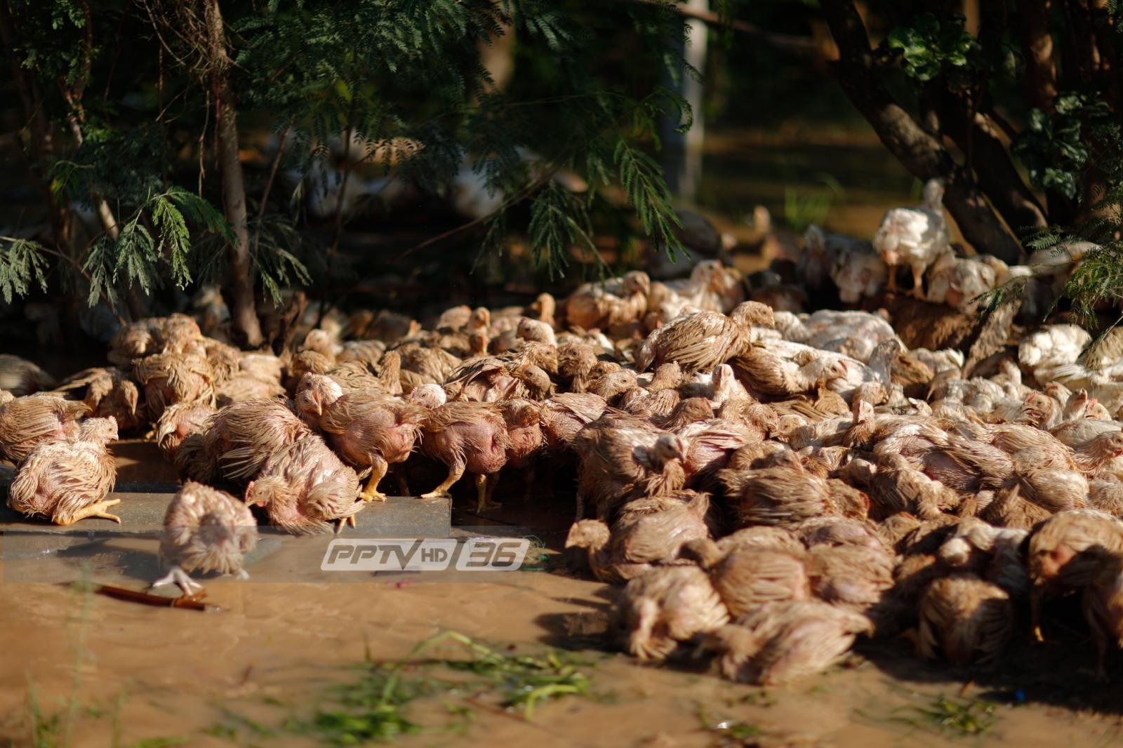 เดือดร้อนหนัก! น้ำท่วม อ.พรานกระต่าย ไก่ตายเกือบ 5 หมื่นตัว
