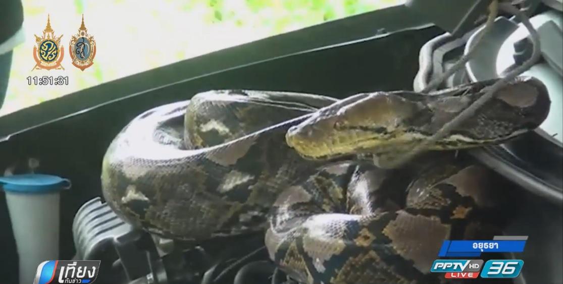 ช่วยงูเหลือมตัวใหญ่เข้าไปกินไก่แต่ติดรั้วเหล็ก