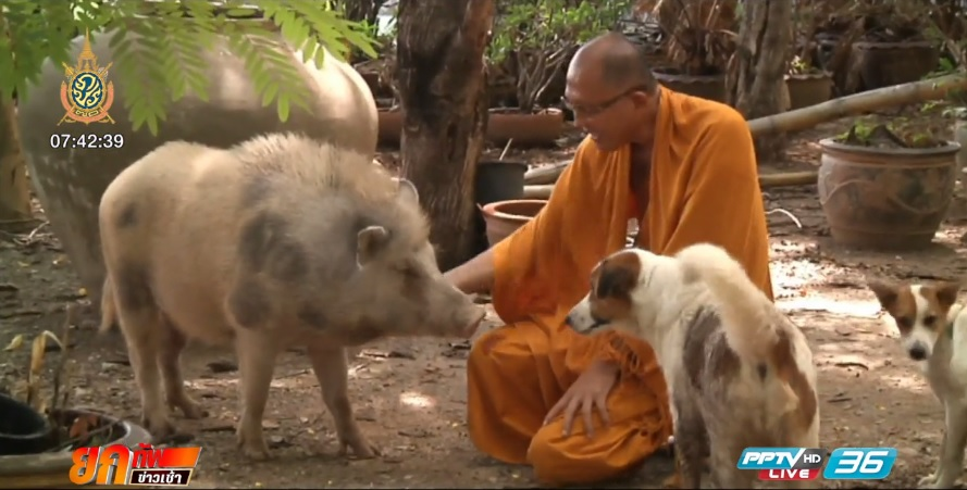 สุดน่ารัก! หมูป่าน่ารักอยู่กับพระ มีสุนัขเป็นเพื่อน (คลิป)
