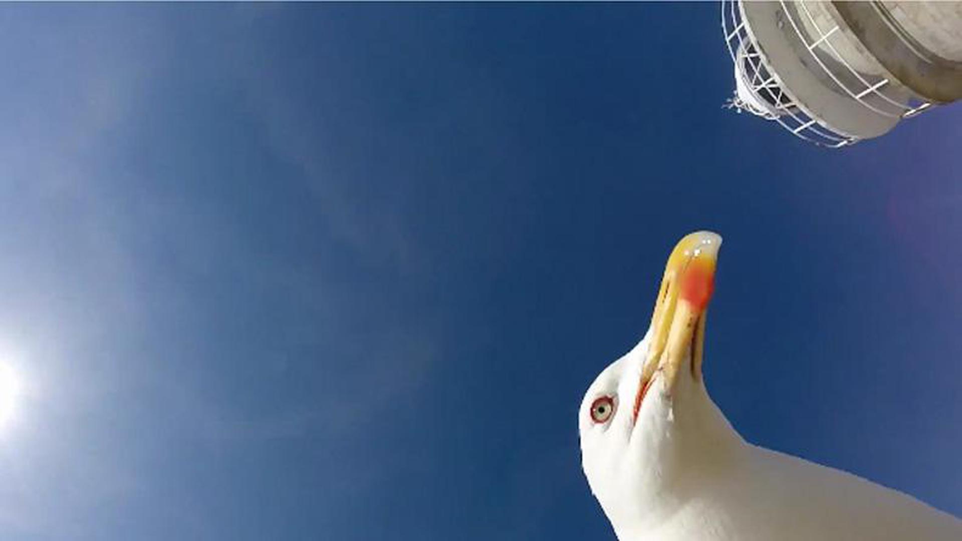 นกนางนวลขอเซลฟี่! ฉกกล้องนักท่องเที่ยวบินร่อนถ่ายภาพทั่วฟ้า (คลิป)