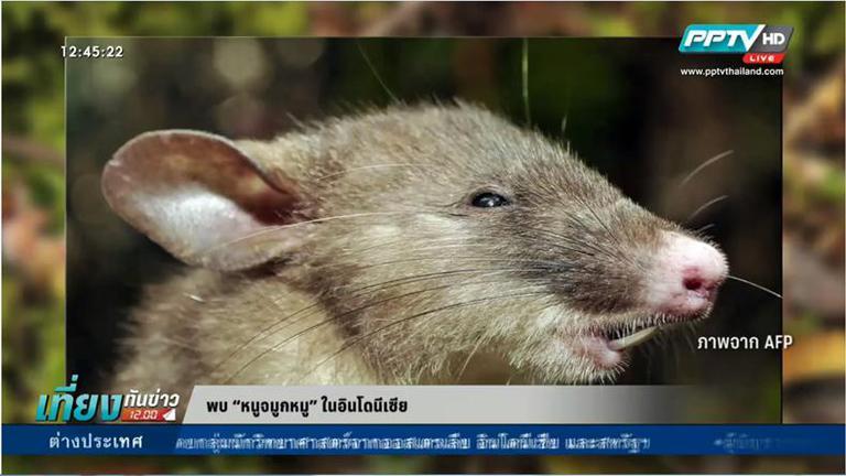 """นักวิทยาศาสตร์พบ """"หนูจมูกหมู"""" ในอินโดนิเซีย(คลิป)"""
