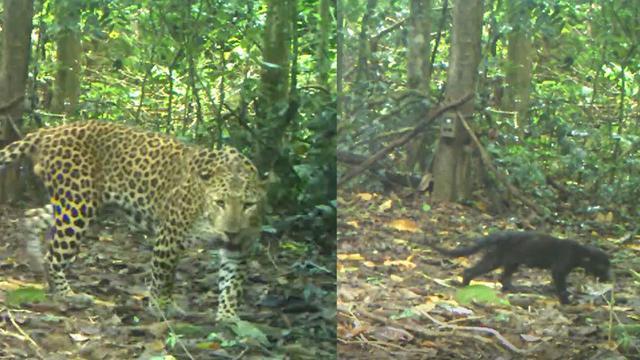 พบครอบครัวเสือดาว-เสือดำ ในป่าแก่งกระจาน