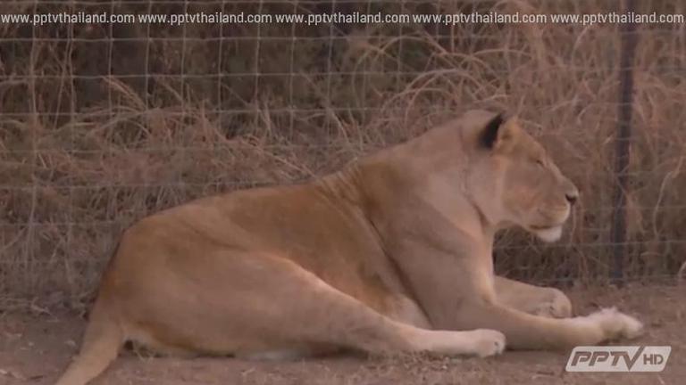 """สิงโตกระโจน ขย้ำ นักท่องเที่ยวดับคา """"ไลออน พาร์ค"""" แอฟริกาใต้"""