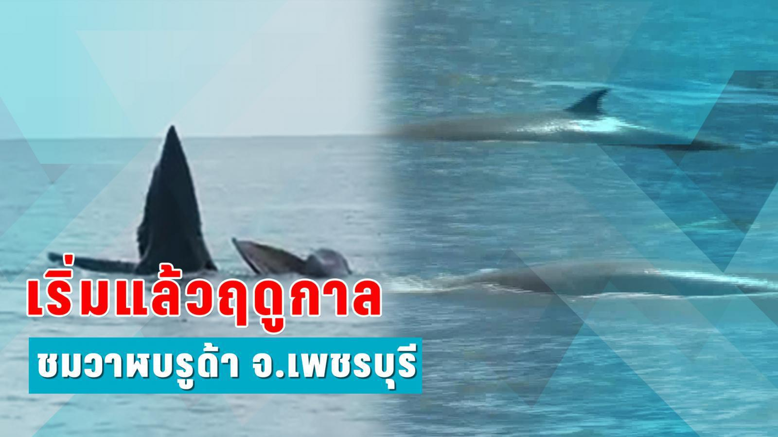 เริ่มแล้วฤดูกาล ชมวาฬบรูด้า จ.เพชรบุรี
