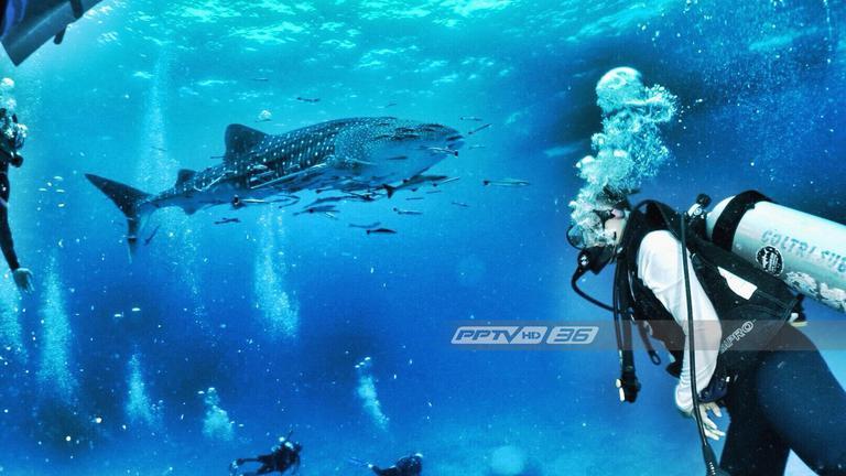 """เปิดภาพ """"ฉลามวาฬ"""" อวดโฉม ทะเลชุมพร"""