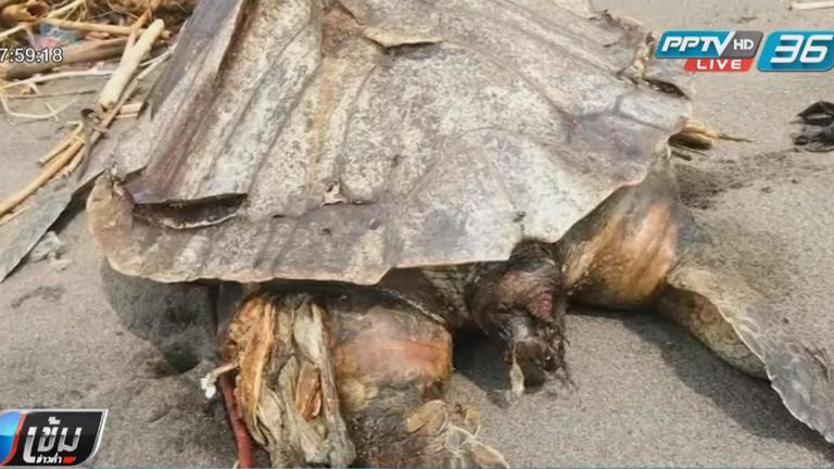 พบซากเต่าทะเล เกยตื้นในอินโดนีเซีย ขยะพลาสติกเต็มท้อง