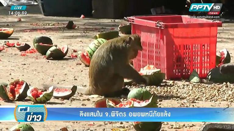 ลิงแสมในพิจิตอพยพหนีภัยแล้ง มาหากินในหมู่บ้าน
