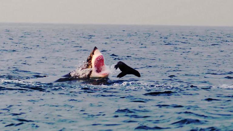 """ชั่วโมง Discovery ตอน ประชิดนักล่า """"ฉลามขาวยักษ์เจ้าสมุทร"""""""
