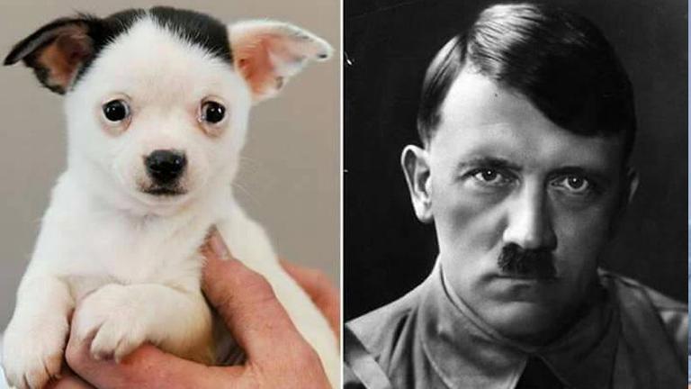 """ท้าพิสูจน์! ลูกหมาชิวาวาหน้าเหมือน """"ฮิตเลอร์"""""""