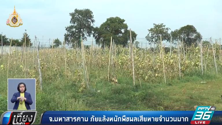 มหาสารคาม แล้งหนัก พืชผลเกษตรเสียหายจำนวนมาก