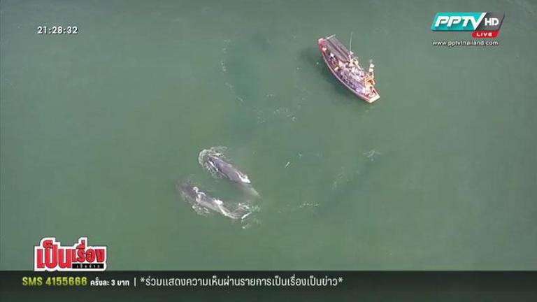"""""""วาฬบรูด้า"""" เจ้ายักษ์แห่งท้องทะเลไทย (คลิป)"""