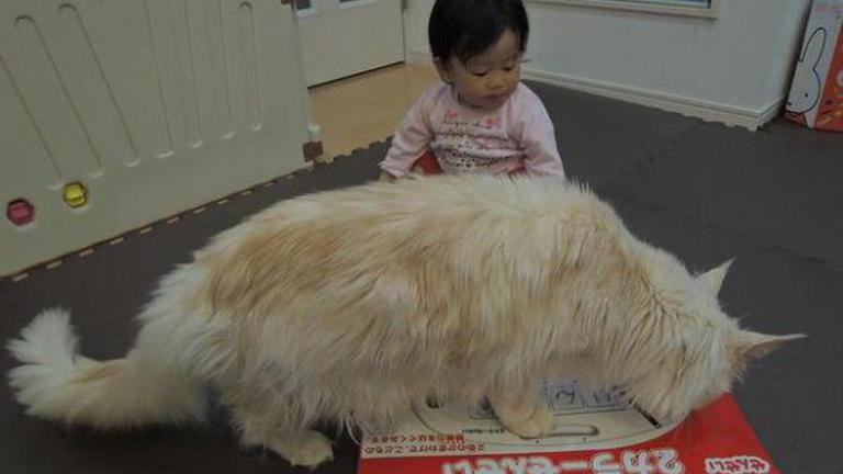 """ค้นพบแมวเซเลบฯ ตัวใหม่  ไจแอนท์คิตตี้ """"โทโร่""""  กุมหัวใจทาสแมวอยู่หมัด!"""
