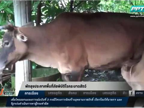ปศุสัตว์ จ.พัทลุง ประกาศเป็นพื้นที่ภัยพิบัติโรคระบาดสัตว์ หลังหมู-วัวตาย