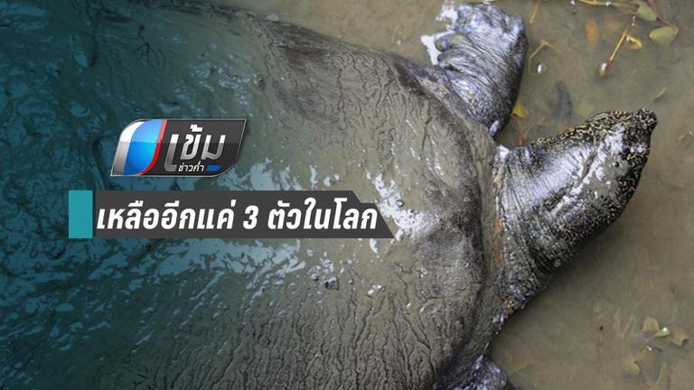 ตะพาบยักษ์ แยงซีเกียงตาย เหลือแค่ 3 ตัวสุดท้ายในโลก
