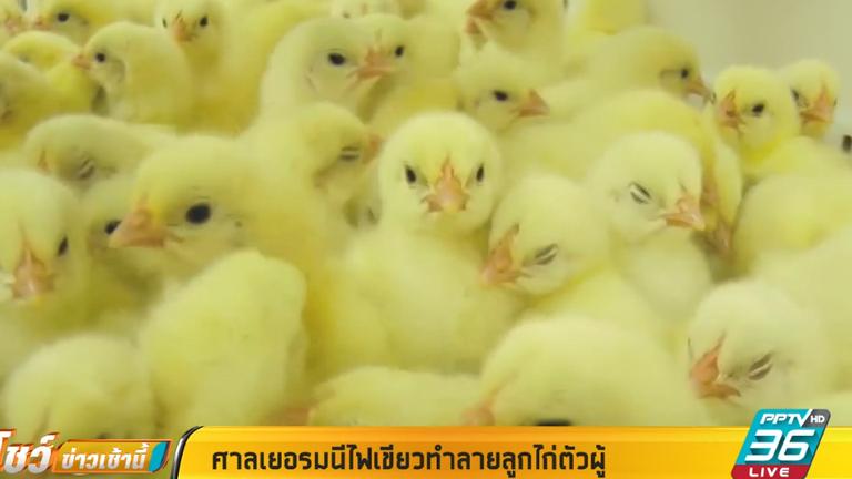 ศาลเยอรมนีไฟเขียวทำลายลูกไก่ตัวผู้