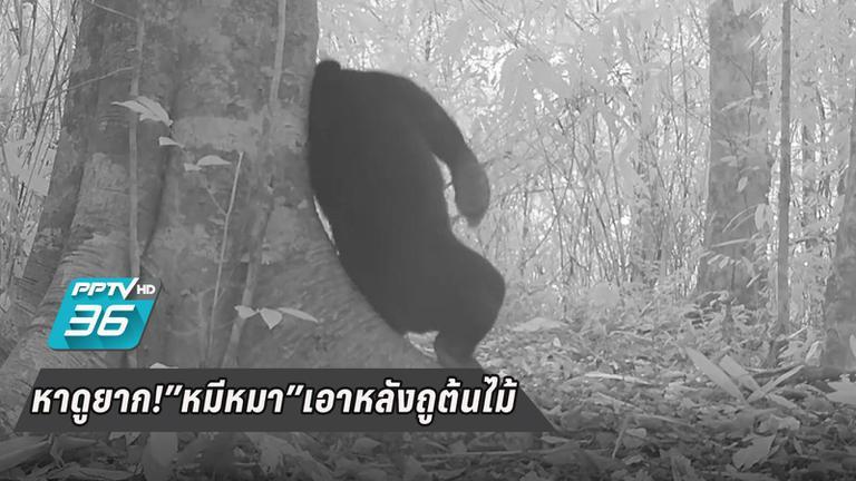 หาดูยาก! เสือลายเมฆ-หมีหมาเอาหลังถูต้นไม้ ในผืนป่าแก่งกระจาน