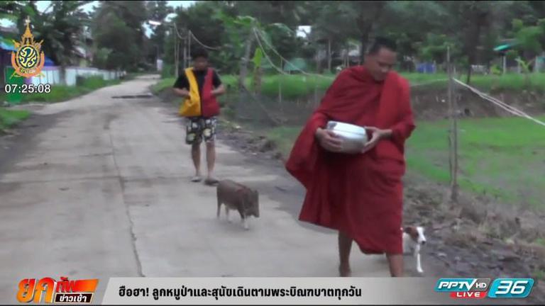 สุดน่ารัก ! ลูกหมูป่าและสุนัขเดินตามพระบิณฑบาตทุกวัน (คลิป)