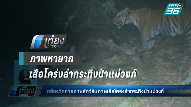 กล้องดักถ่ายภาพสัตว์จับภาพเสือโคร่งล่ากระทิงป่าแม่วงก์