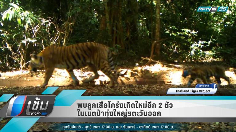 """พบ """"ลูกเสือโคร่ง""""เกิดใหม่อีก 2 ตัว เขตป่าทุ่งใหญ่ฯ ตะวันออก"""