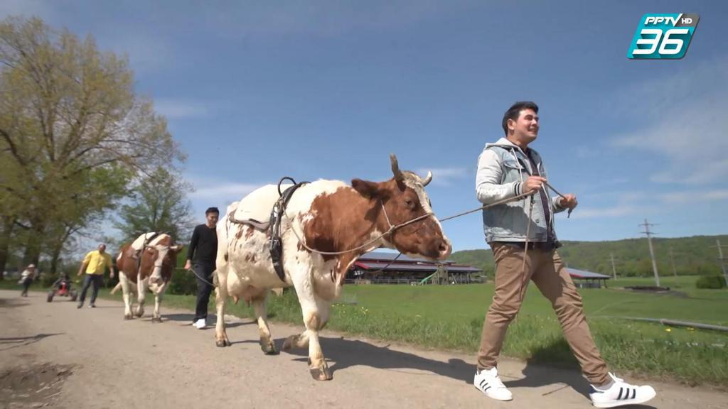 ดูเพลินๆ | สนุกกับกิจกรรม Cow trekking ที่สวิตเซอร์แลนด์ | เที่ยวให้สุด สมุดโคจร EP.2