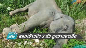 ช้างป่า มาเลเซีย 3 ตัว ถูกวางยาเบื่อตาย