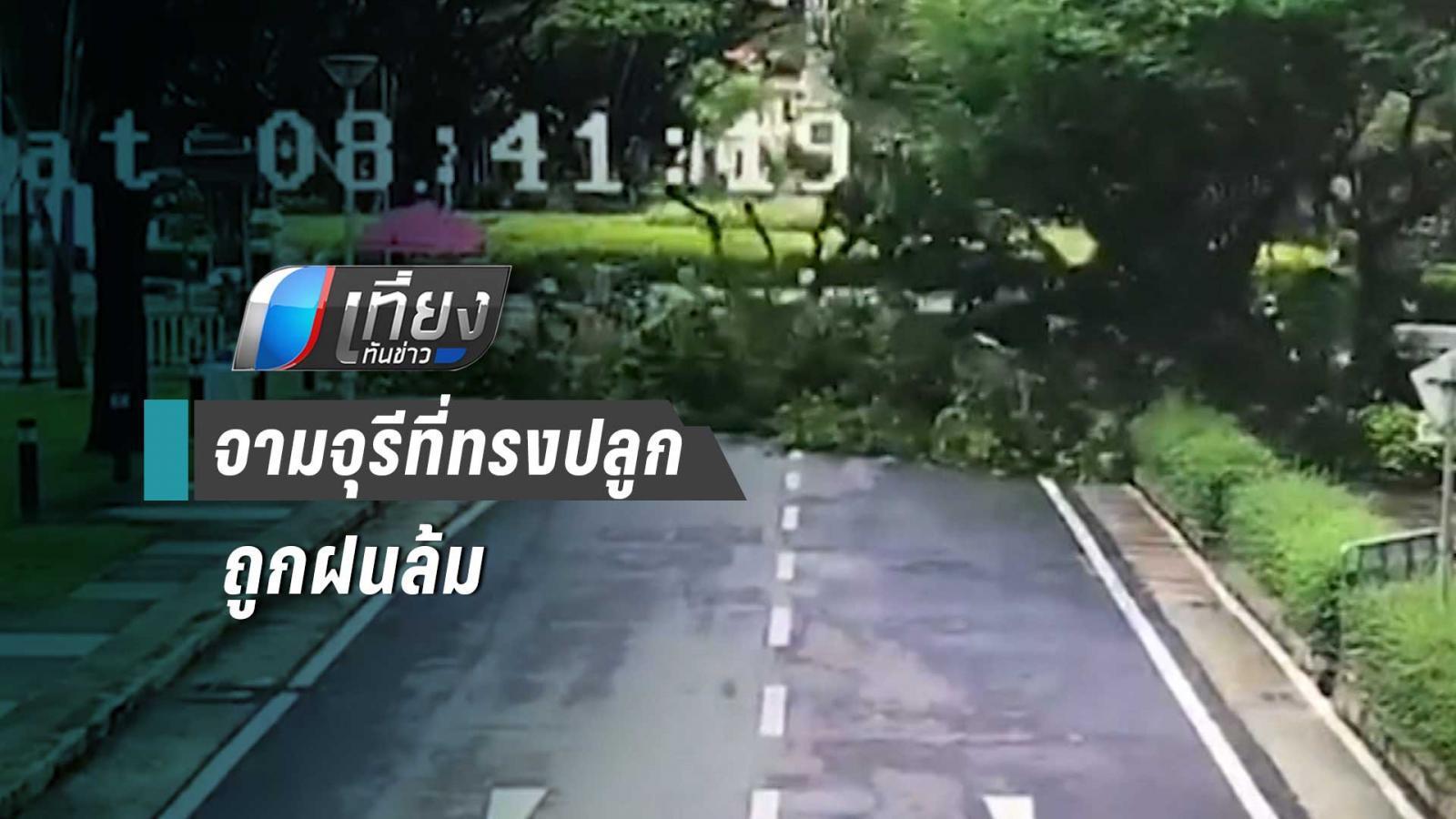 ต้นจามจุรีที่ ร.9 ทรงปลูกล้ม หลังพายุฝนถล่มวันศุกร์