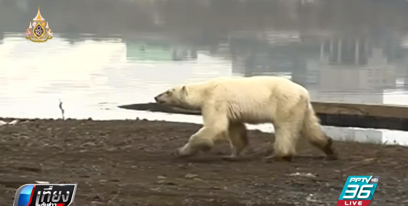 """สลด!""""หมีขั้วโลก"""" หิวโซเร่ร่อนหาอาหารในรัสเซีย"""
