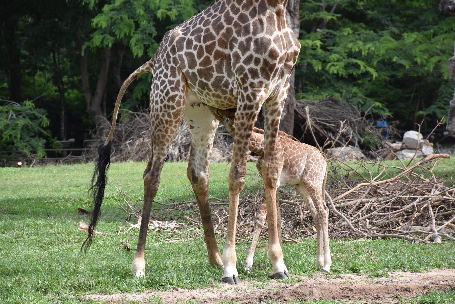 สวนสัตว์เขาเขียว เปิดตัวสมาชิกใหม่ลูกยีราฟ พร้อมชวนโหวตชื่อ ลุ้นรางวัลใหญ่