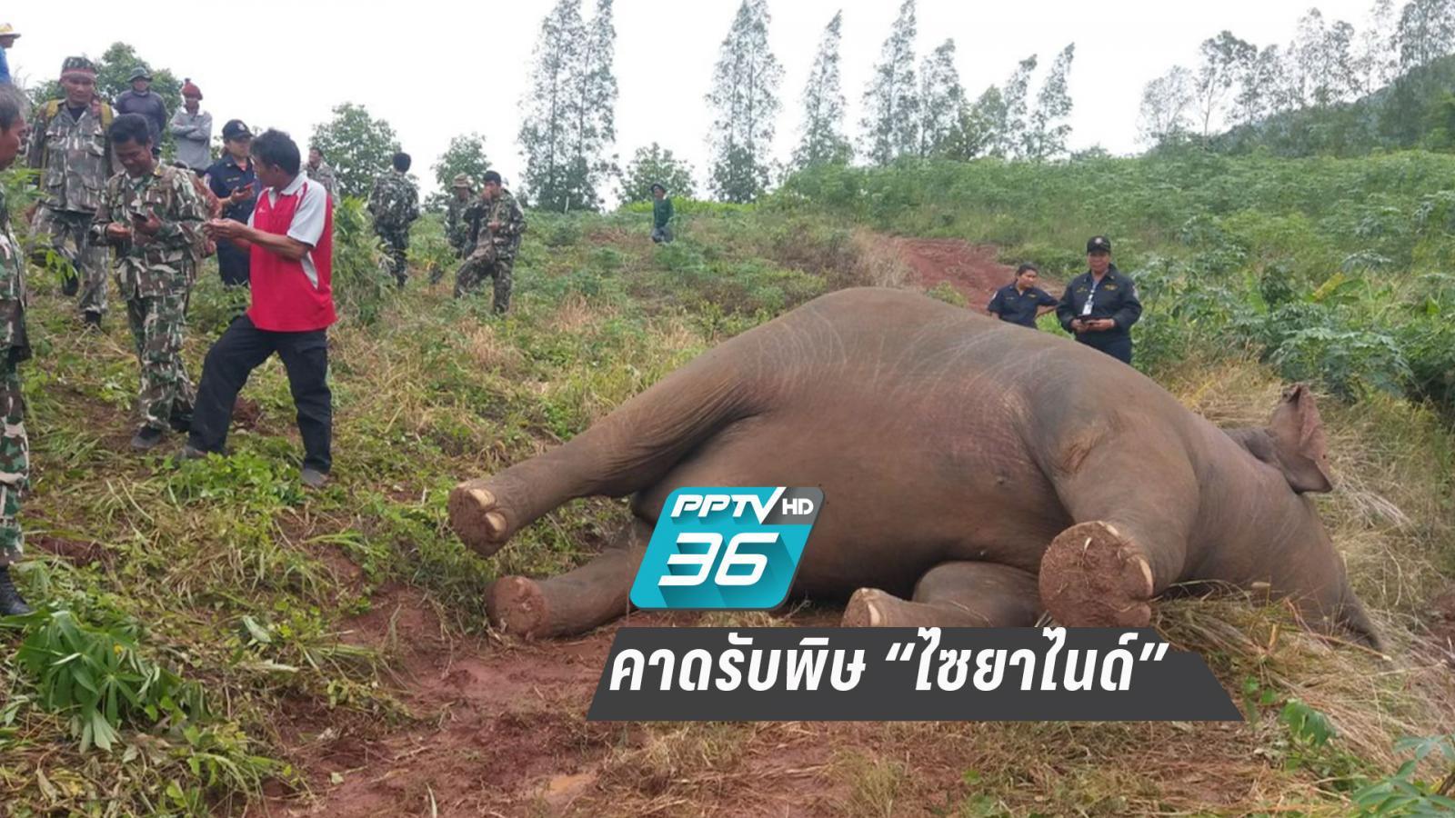 """ช้างป่าภูหลวงล้มกลางไร่มัน คาดรับพิษ """"ไซยาไนด์"""""""