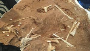 พบฟอสซิลไดโนเสาร์กินเนื้อพันธุ์ใหม่  ตัวเล็กแค่ 1.5 เมตร