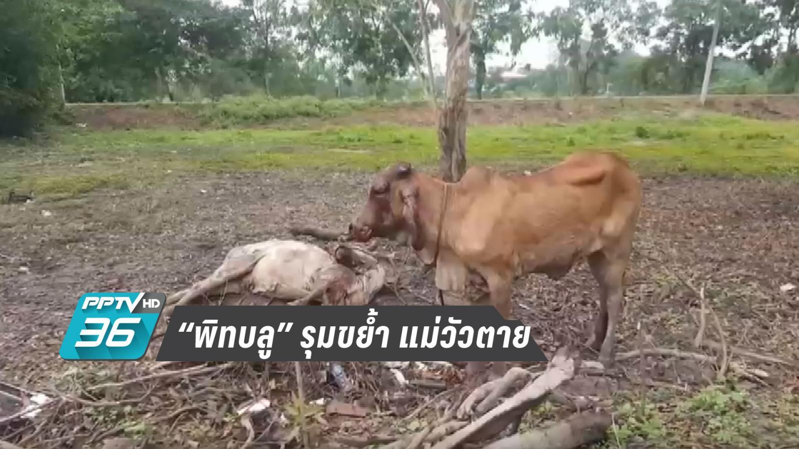 """""""สุนัขพิทบูล"""" รุมขย้ำแม่วัวตาย พบก่อเหตุมาแล้ว 5 ครั้ง"""