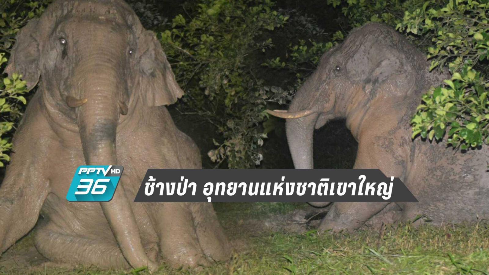 """""""ช้างป่า อุทยานแห่งชาติเขาใหญ่ อวดโฉม โพสต์ท่าให้เจ้าหน้าที่ ถ่ายภาพ"""""""