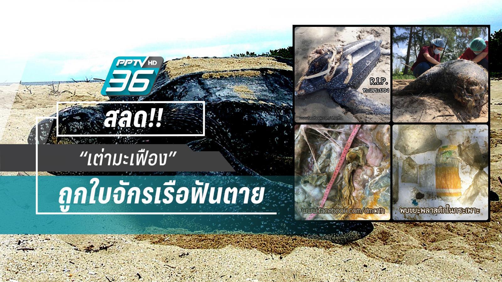 สลด! เต่ามะเฟืองถูกใบจักรเรือบาดตาย ซ้ำในกระเพาะพลาสติกเพียบ