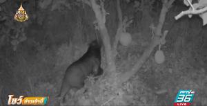 จับหมีควายเข้ามากินผลไม้ในสวน
