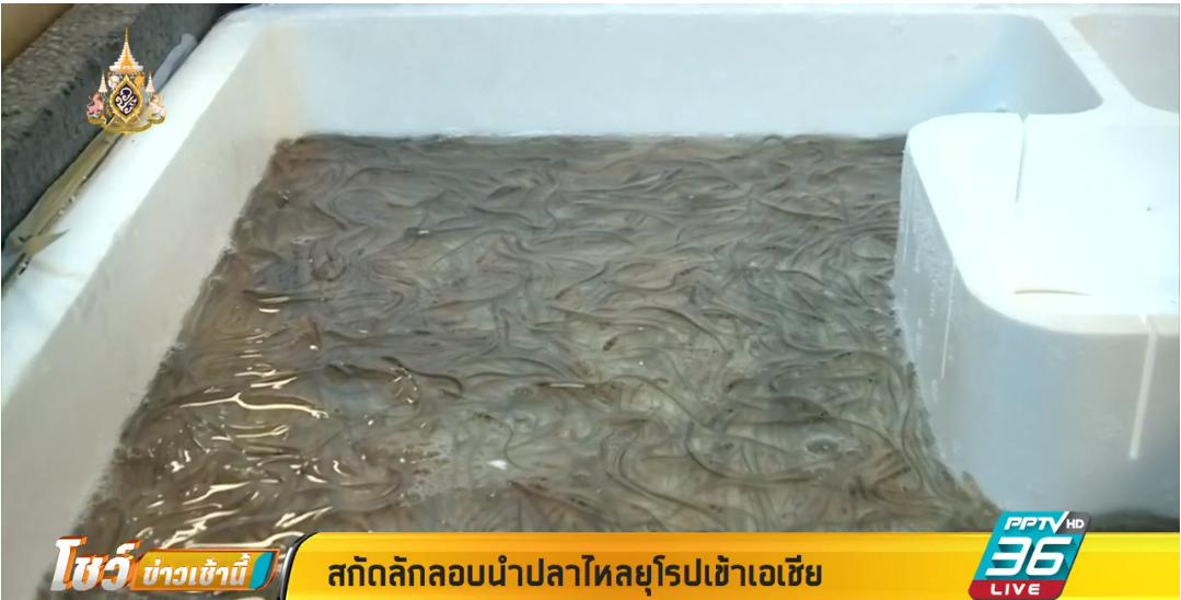 สกัด ปลาไหลยุโรป ส่งออกมาเอเชีย  มูลค่ามหาศาล 1.2 แสนล้านบาท