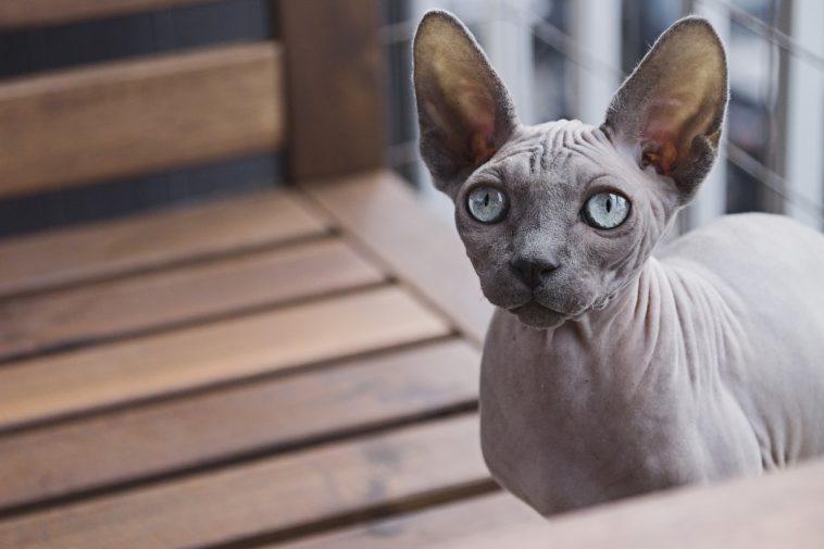 """โฉมหน้าแมว""""ตัวละ 4 ล้านบาท""""รับวันแมวสากล"""