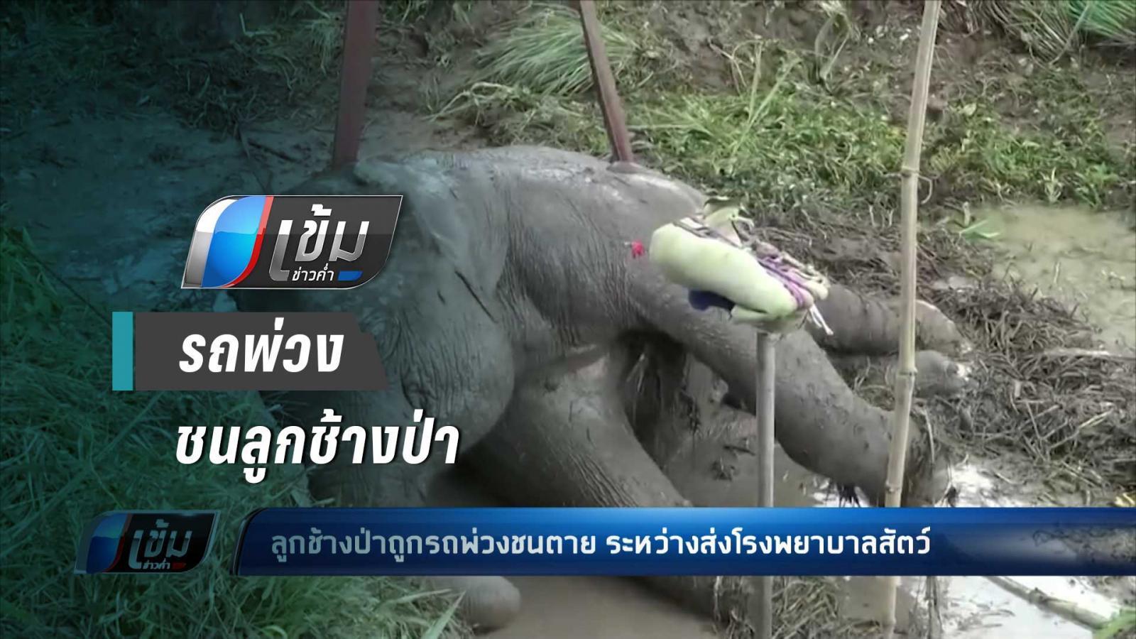 ล้มแล้ว !! ลูกช้างป่า ถูกรถพ่วงชน