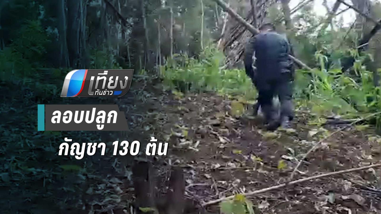ผู้ว่าฯ แพร่สั่งจับลักลอบปลูกกัญชา 130 ต้น