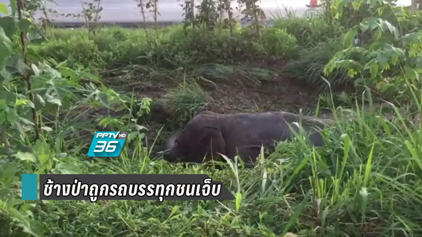 ช้างป่าออกหากิน เดินข้ามถนน คนขับรถบรรทุกมองไม่เห็น ชนเจ็บ