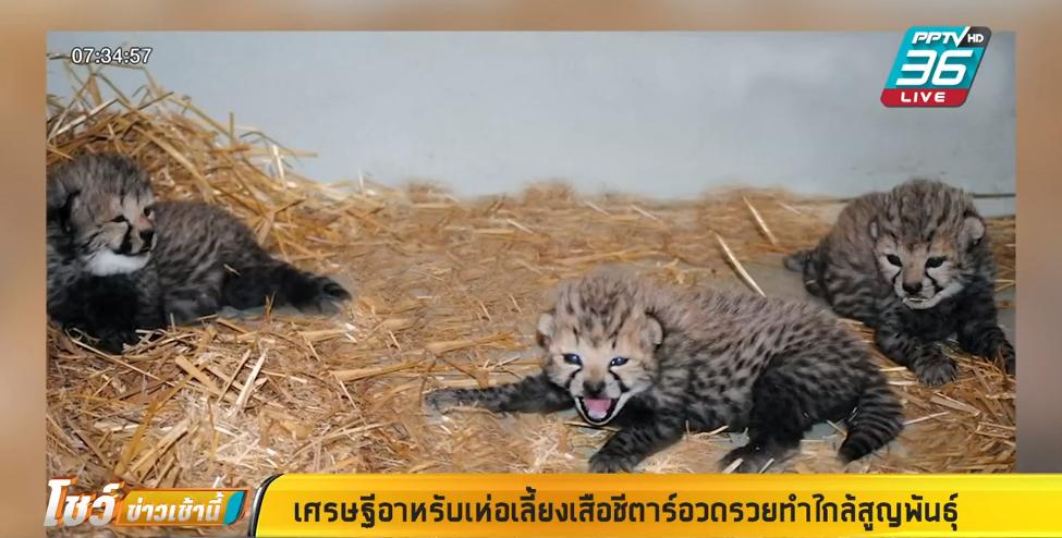 เศรษฐีอาหรับเห่อเลี้ยงเสือชีตาร์อวดรวยทำใกล้สูญพันธุ์