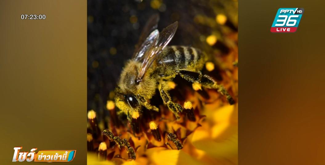 """นักวิจัยลองใช้ """"ผึ้ง"""" ดมกลิ่นยาเสพติด - ระเบิดแทนสุนัข"""