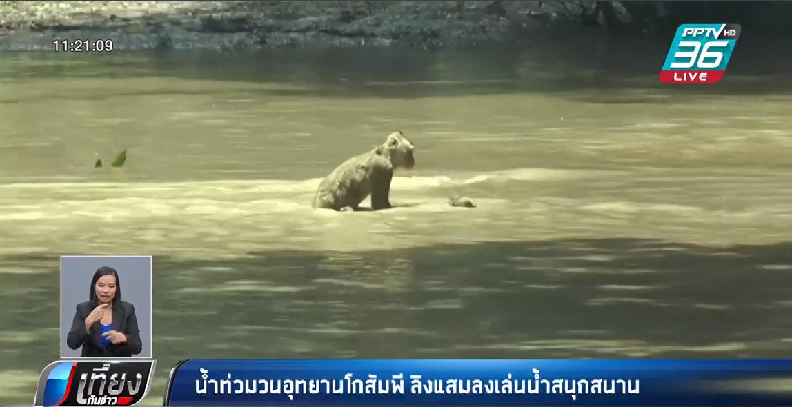 น้ำท่วมวนอุทยานโกสัมพี ลิงแสมแห่ลงเล่นสุดคึกคัก