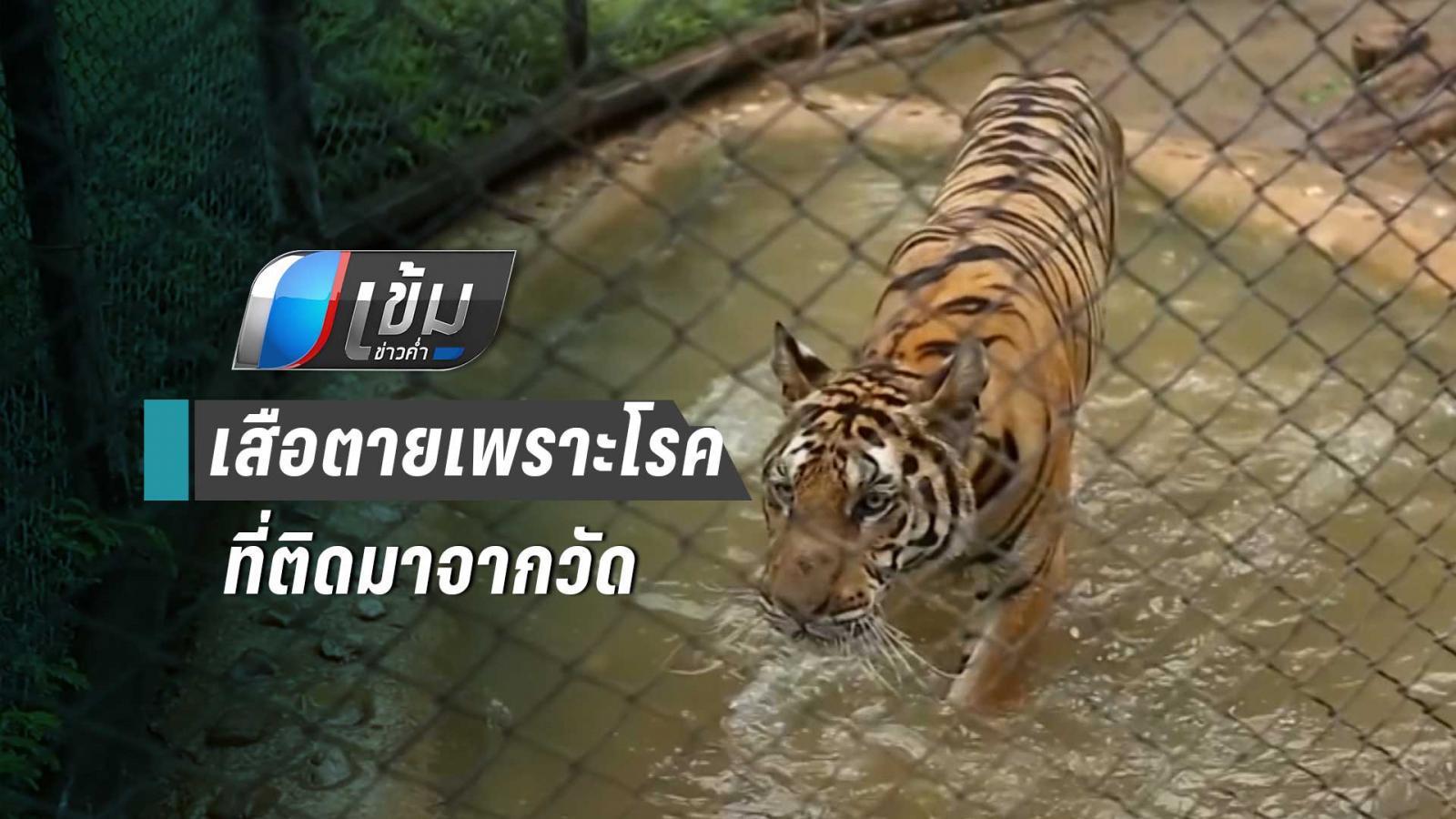 กรมอุทยานฯ คาด เสือตายเพราะโรคที่ติดมาจากวัดป่าหลวงตาบัวฯ