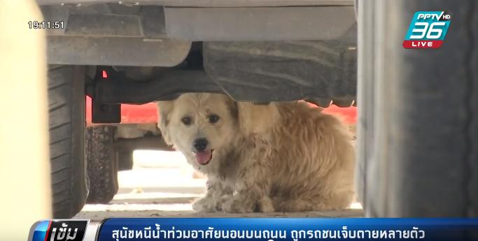 สุนัขหนีน้ำท่วมนอนบนถนน ถูกรถชนเจ็บตายหลายตัว