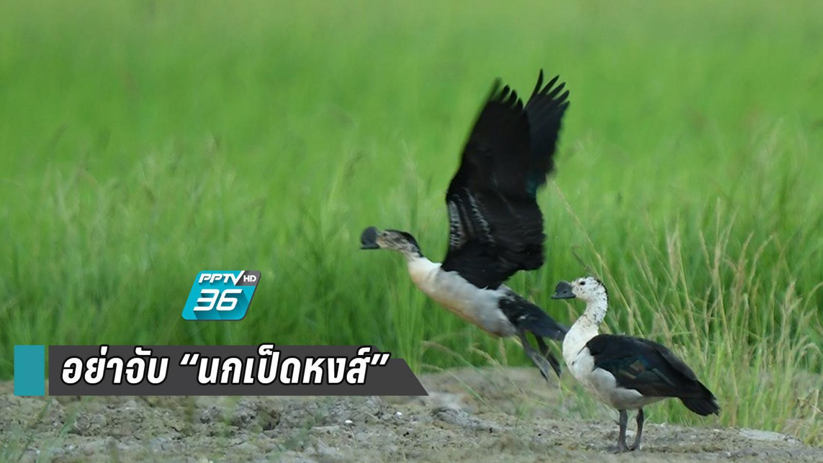ข่าวดี! นกเป็ดหงส์ ขยายพันธุ์เพิ่ม 50 ตัว วอนชาวบ้านอย่าจับไปขาย