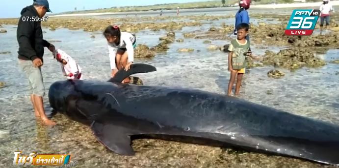 วาฬนำร่อง เกยฝั่งตายแล้ว 7 ตัว บนหาดอินโดนีเซีย
