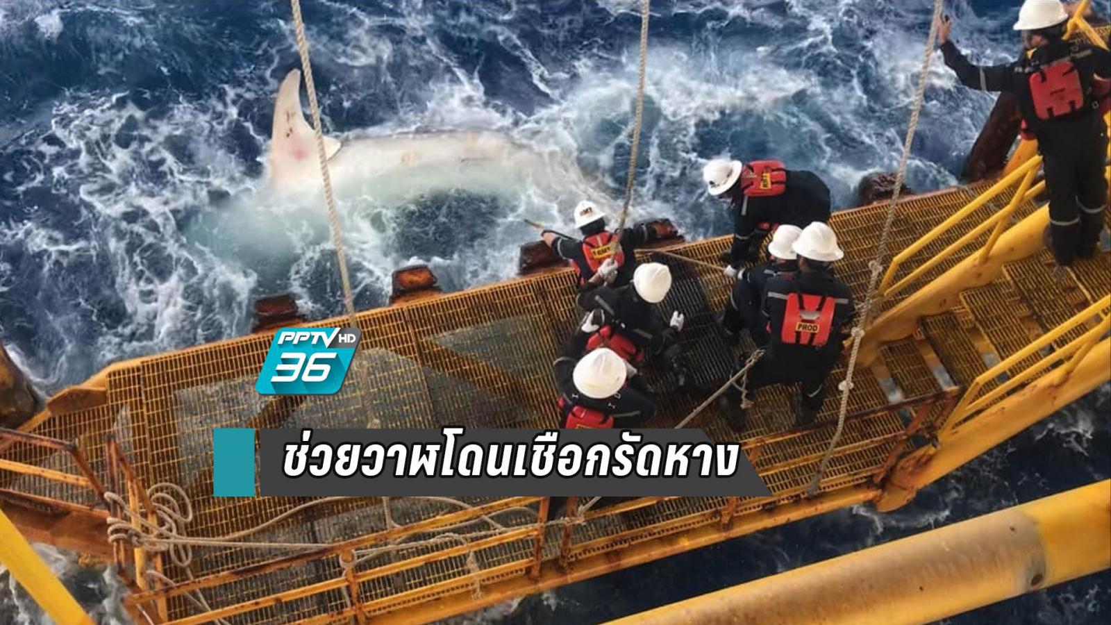 """ชื่นชม! พนักงานแท่นเจาะ ช่วย""""ฉลามวาฬตัวใหญ่"""" โดนเชือกรัดหาง"""
