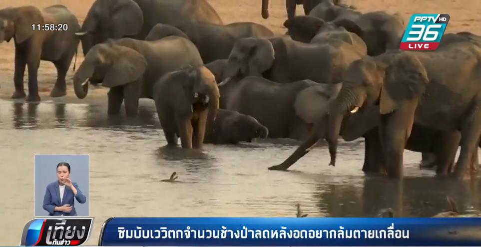 """""""ซิมบับเว"""" วิตกจำนวนช้างป่าลดหลังอดอยากล้มตายเกลื่อน"""
