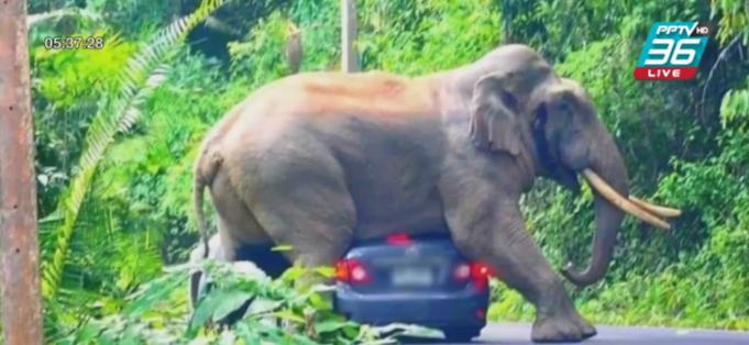 """""""พี่ดื้อ"""" ช้างป่าเขาใหญ่ ขึ้นคร่อมหลังคารถเก๋งนักท่องเที่ยว"""
