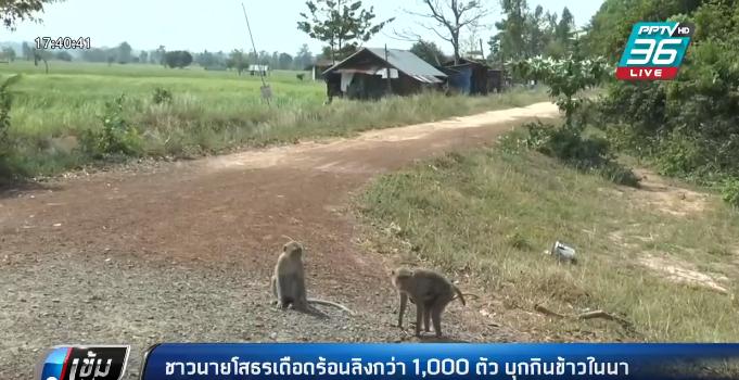 ชาวนา ยโสธรเดือดร้อนลิงกว่า 1,000 ตัวบุกกินข้าวในนา